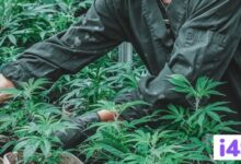 Photo of Planning To Grow Cannabis Outdoors? Check Out This 101 Guide
