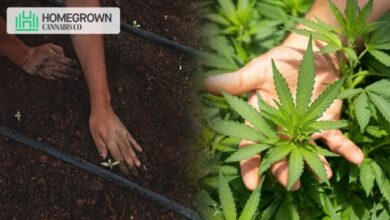 Photo of Checklist For Cannabis Growth: Things You Need To Start Cannabis Cultivation